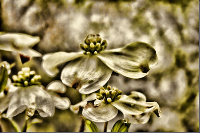 topaz-adjustments-on-dogwood