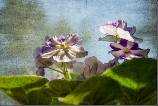 violets-in-the-window-sill