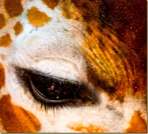 giraffe-eye1