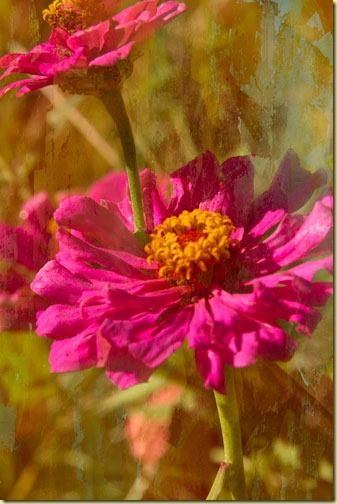 zinnias-with-30%-texture