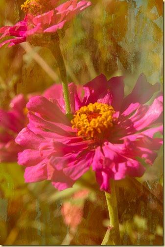 zinnias-with-gaussian-blur